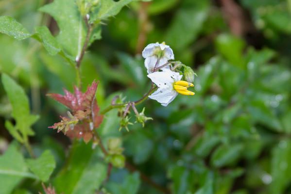 Solanum carolinense - Ball-nettle
