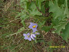 Solanum elaeagnifolium - White Horse Nettle