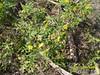 Solanum rostratum - Buffalo Bur
