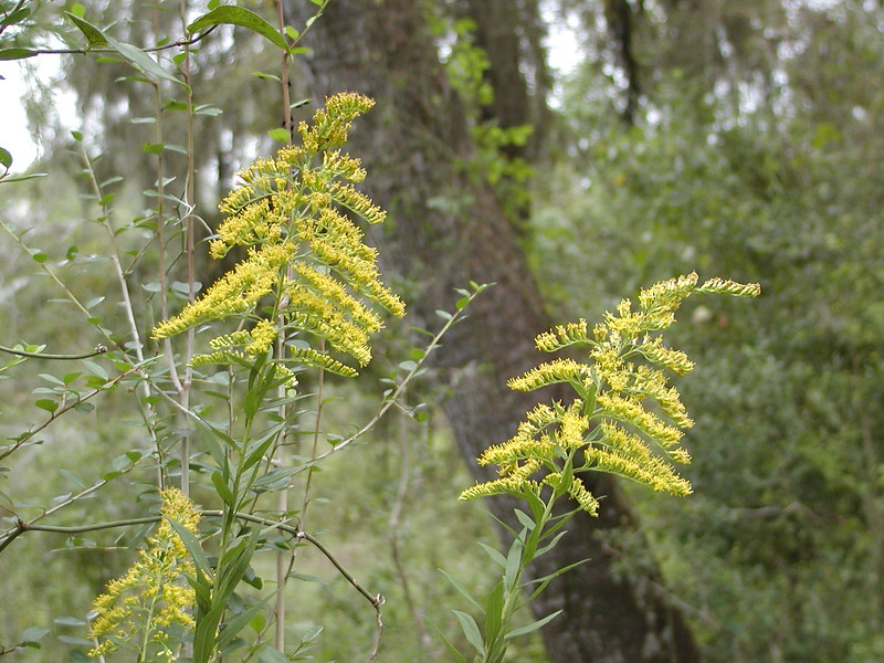 Solidago canadensis - Tall Goldenrod