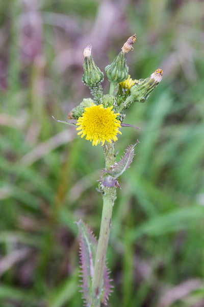 Sonchus asper - Prickly Sow-Thistle