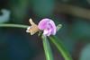 Strophostyles helvula - Amberique Bean