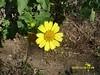 Verbesina encelioides - Cowpen Daisy