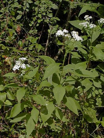 Verbesina virginica - Frostweed