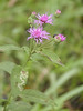 Veronia texana - Texas Ironweed