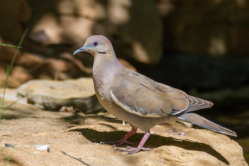 Dove, White-winged
