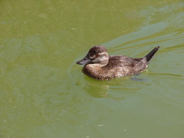 Ruddy Duck Female 2 orig-Edit-Edit