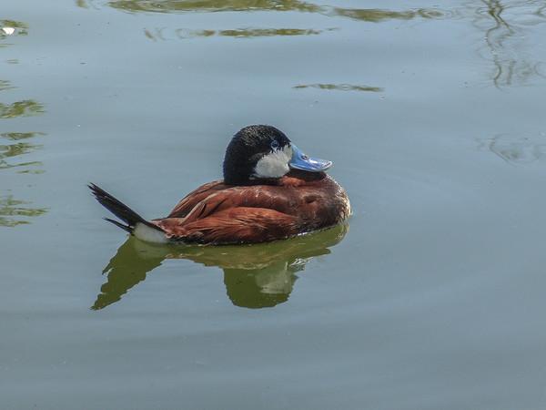Ruddy Duck 1 sharpened-Edit