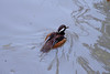 Hooded Merganser - Male