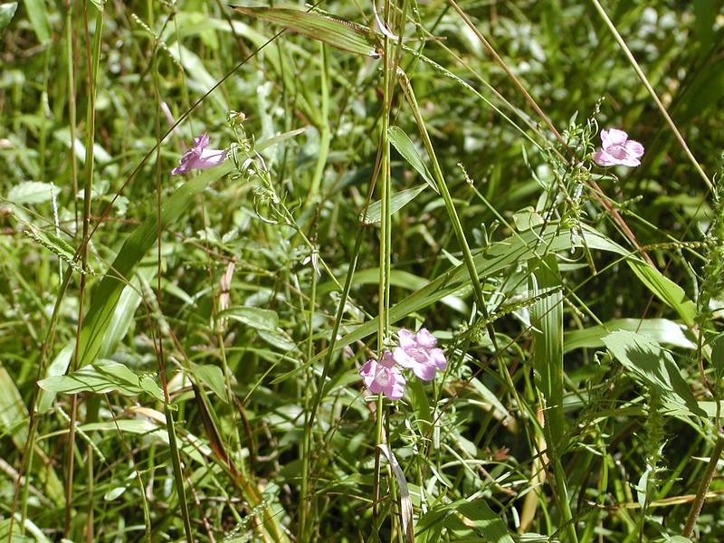 Agalinis purpurea - Purple False Foxglove