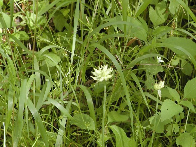 Allium canadense - Wild Onion