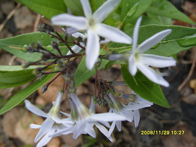 Amsonia illustris - Swamp Bluestar