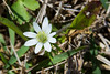 Anemone berlandieri - Ten Petal Anemone (Windflower)