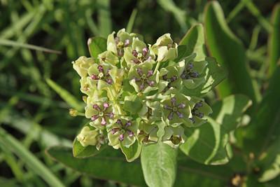 Asclepias viridis - Green Milkweed