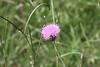 Cirsium texanum - Texas thistle