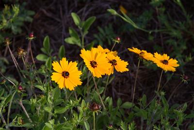 Coreopsis basalis - Coreopsis