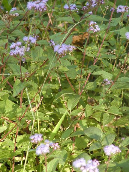 Conoclinium (Eupatorium) coelestinum - Blue Mist Flower
