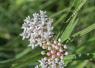 Asclepias perennis - Shore Milkweed