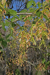 Acer negundo - Box Maple:  Ripening samara