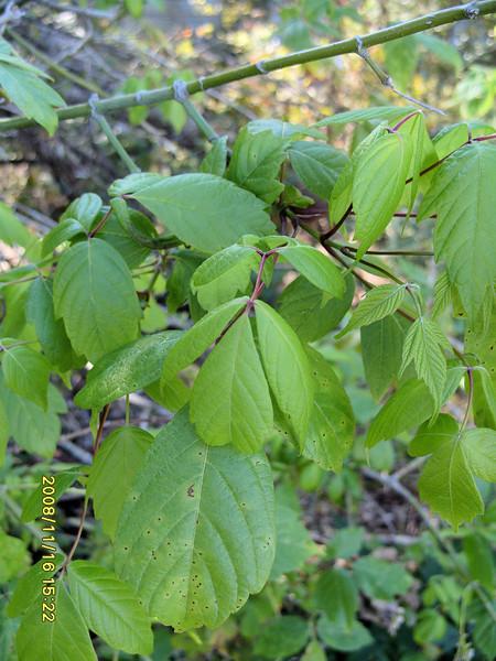 Acer negundo - Box Maple Elder:  Mature leaves