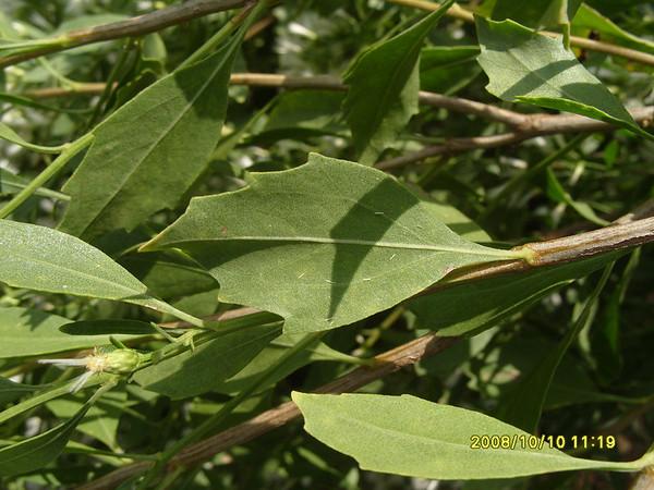 Baccharis halimifolia - Eastern Baccharis