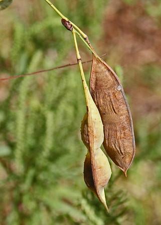 Sesbania (Glottidius) vesicaria - Bagpod