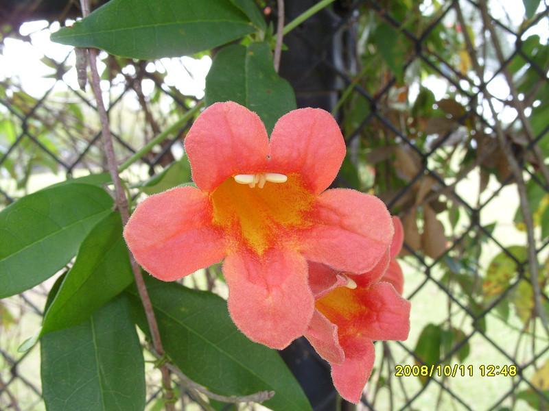 Bignonia capreolata - Cross Vine
