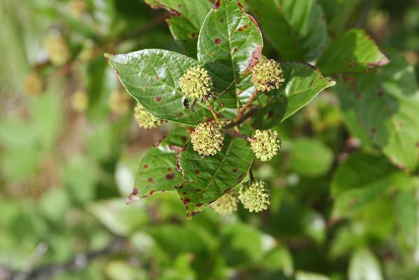 Cephalanthus occidentalis - Buttonbush