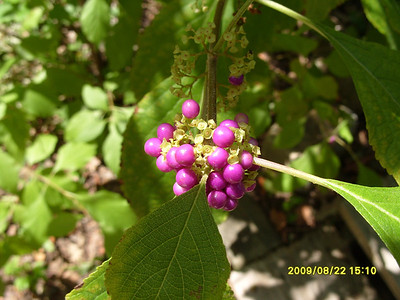 Calicarpa americana - American Beauty Bush