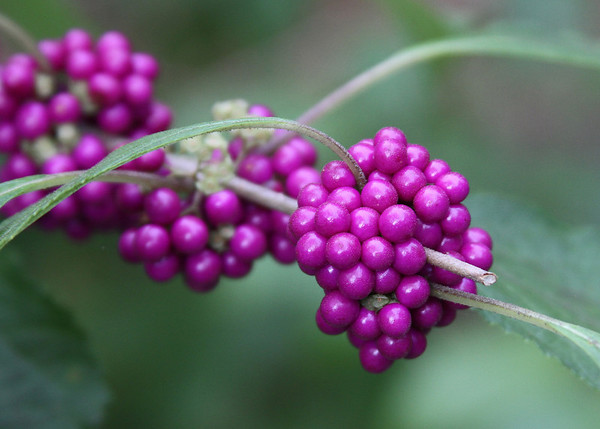 Calicarpa americana - American Beauty Bush