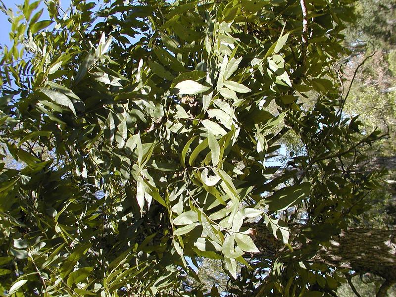 Carya illinoensis - Pecan