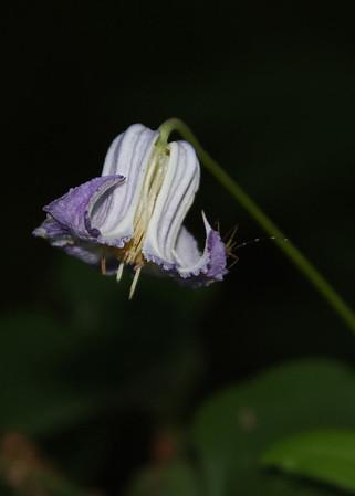 Clematis crispa - Curly Clematis
