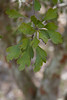 Crataegus spathulata - Little hip Hawthorn (Pasture Haw)
