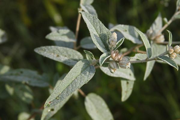 Croton capitatus - Hogwort