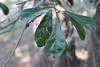 Quercus nigra - Water Oak