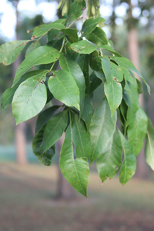 Fraxinus pennsylvatica - Green Ash