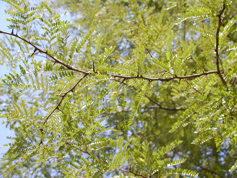 Gleditsia triacanthos - Honey Locust