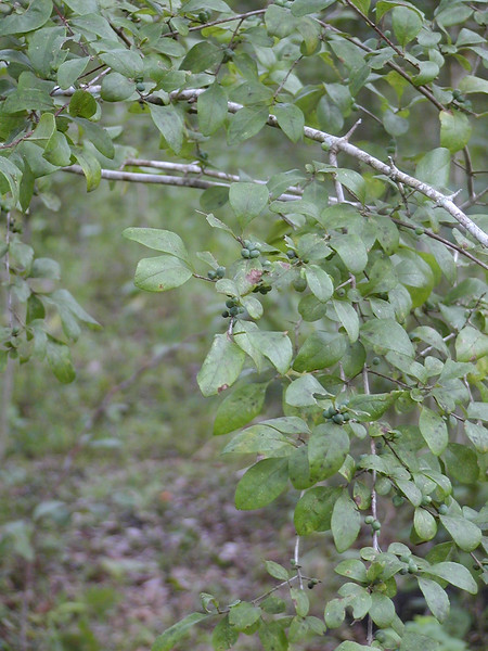 Ilex decidua - Possum Haw Holly