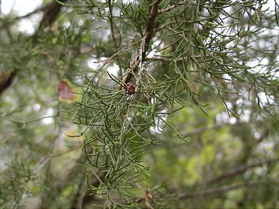 Juniperus silicicola - Southern Red Cedar