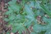 Liquidambar styraciflua - Sweetgum