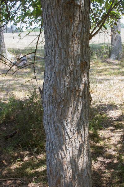 Maclura pomifera - Osage Orange
