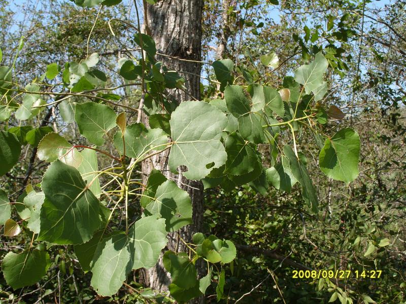 Populus deltoides - Eastern Cottonwood