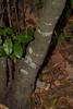 Prunus caroliniana - Carolina Laurel-Cherry