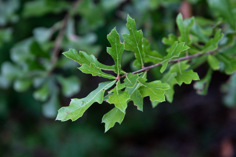Quercus lyrata - Swamp Post (Overcup) Oak