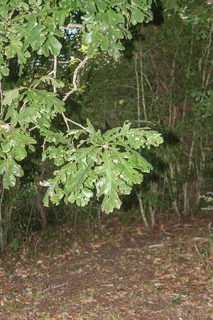 Quercus macrocarpa - Burr Oak