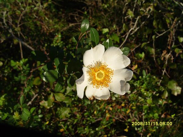 Rosa bracteata - McCartney Rose