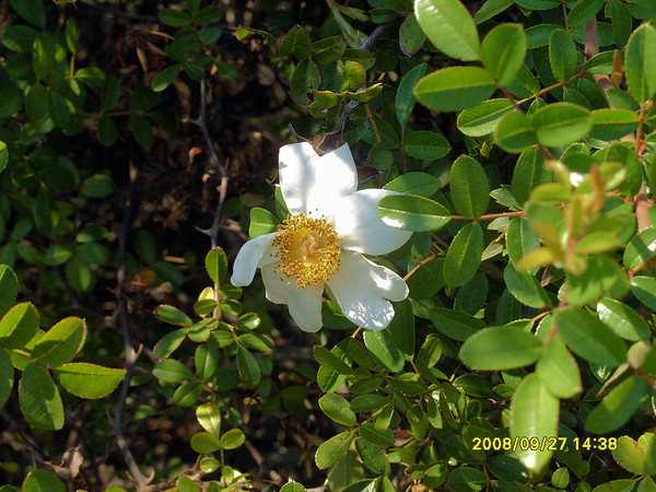 Rosa bracteata - McCartney Rose