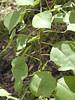 Sapium sebiferum - Chinese Tallow