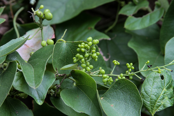 Smilax bona-nox - Saw Greenbrier