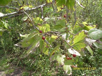 Celtis laevigata - Sugar Hackberry